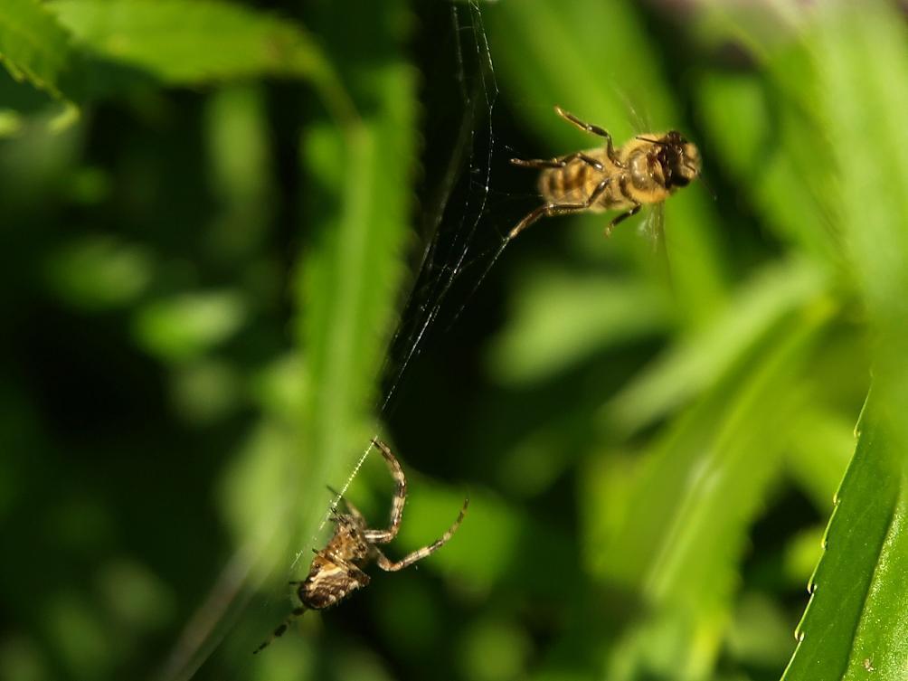 Gevecht - Een maaltijd voor de een of leven voor de ander - foto door Duckie_zoom op 09-09-2012 - deze foto bevat: bij, spin, web, gevangen, trekken