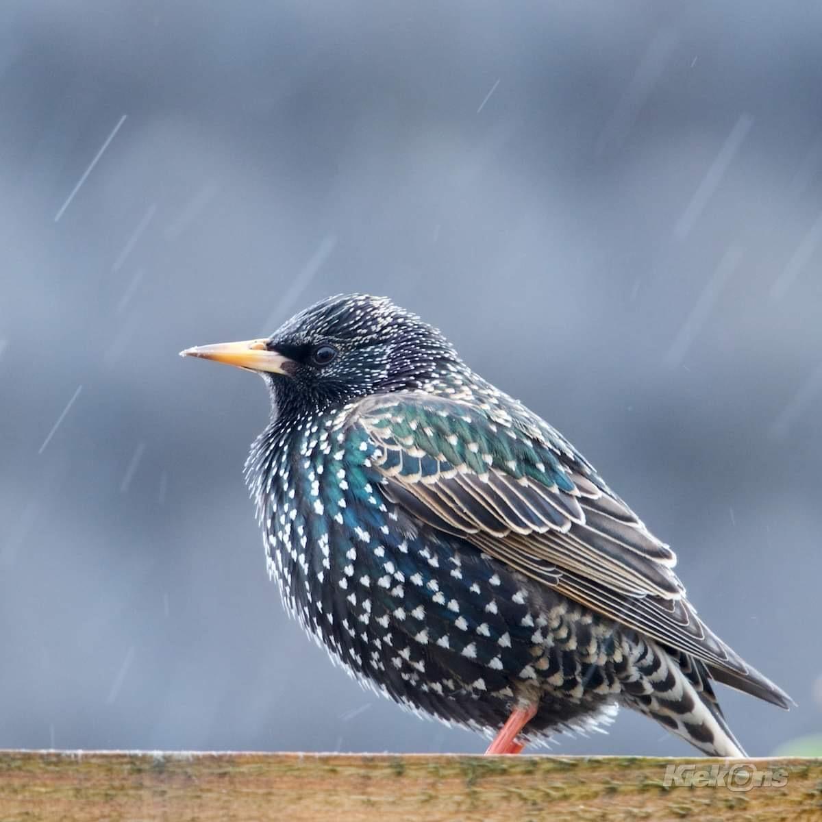 Winterse neerslag... - Spreeuw in een winterse bui - foto door vliegert op 13-04-2021 - deze foto bevat: vogel, dieren, regen, dof, lente, spreeuw, april, gulden snede, uitsnede, vogel, oog, europese spreeuw, bek, veer, spreeuw, lucht, vleugel, elektrisch blauw, zangvogel