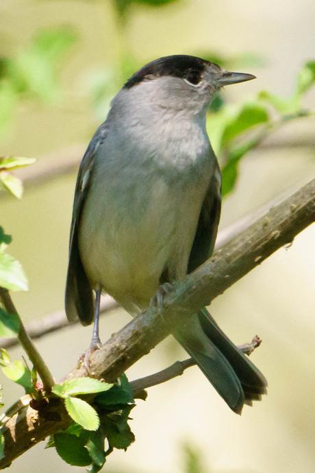 Zwartkop (male)