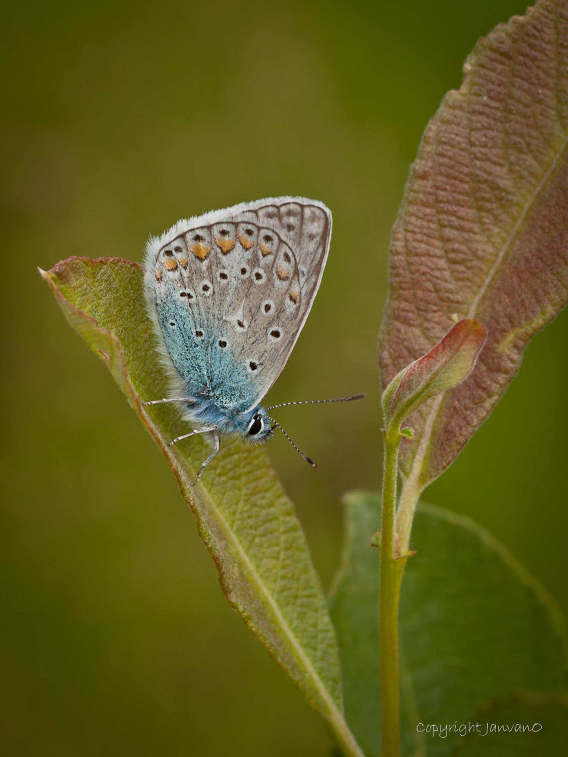 Bright Icarus - Fijn licht had ik bij deze opname, vandaar de titel.  Heeze 2012 - foto door JanvanO op 30-09-2012 - deze foto bevat: man, macro, natuur, vlinder, icarusblauwtje, butterfly, janvano, Polyommatus icarus, olympus e-3, Sigma 150mm, lycanidae, fijn licht