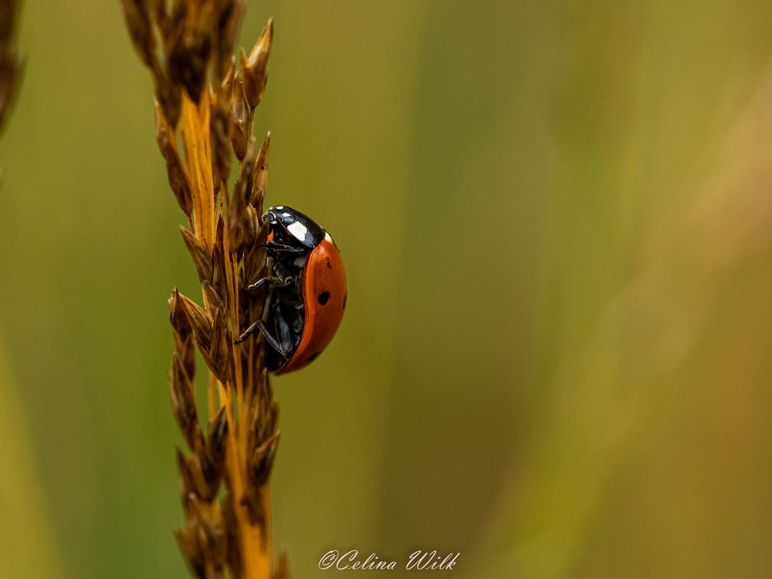 Lieveheersbeestje - Mijn favoriet kevertje - foto door CelineW op 11-04-2021 - locatie: Mastbos, Breda, Nederland - deze foto bevat: geleedpotigen, insect, fabriek, kever, lieveheersbeestje, gras, parasiet, plaag, rode insecten, macrofotografie