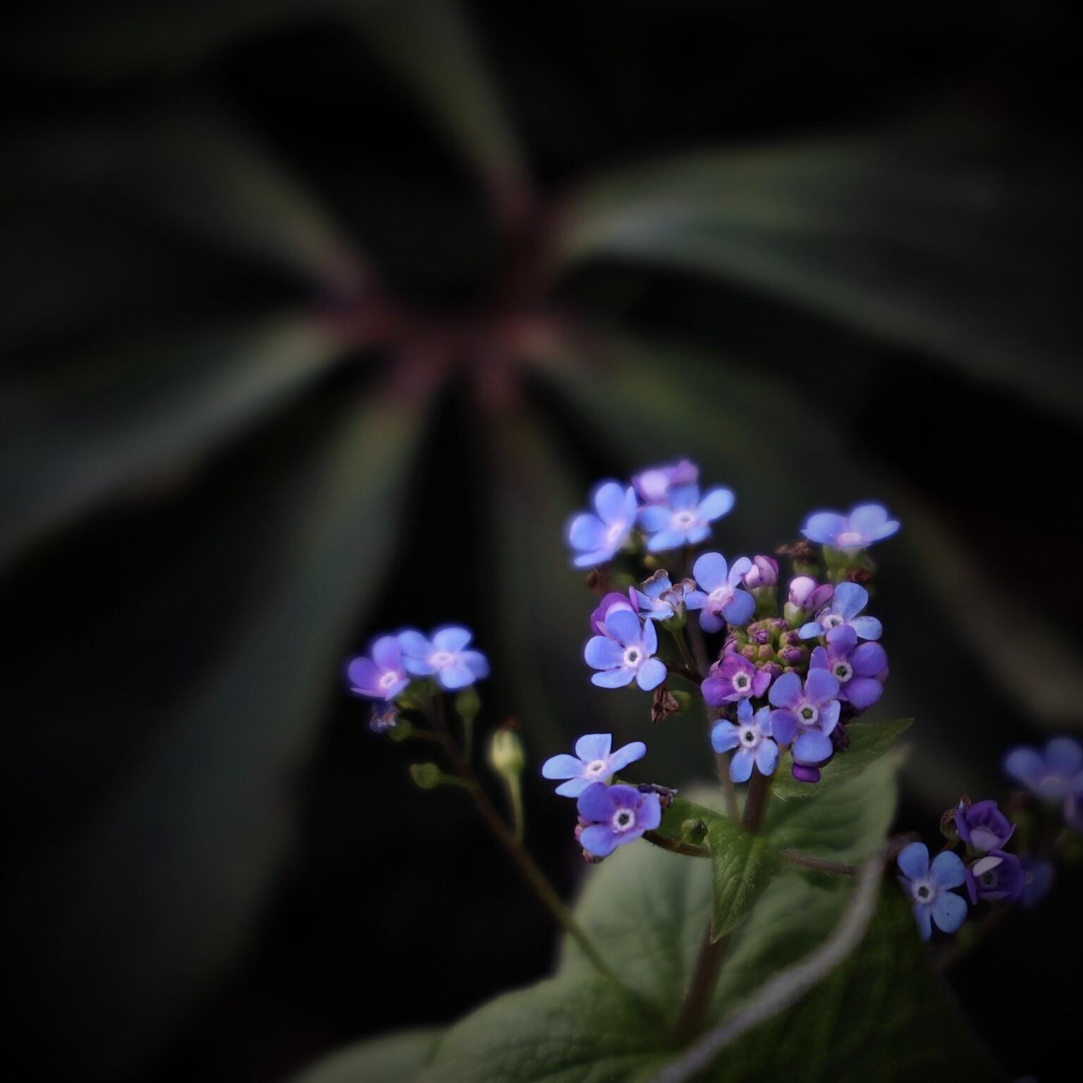 Bloemetje - Met mooie achtergrond - foto door MarideKort op 13-04-2021 - deze foto bevat: bloem, fabriek, bloemblaadje, purper, vergeet me niet, water vergeet mij niet, terrestrische plant, paars, bloeiende plant, kruidachtige plant