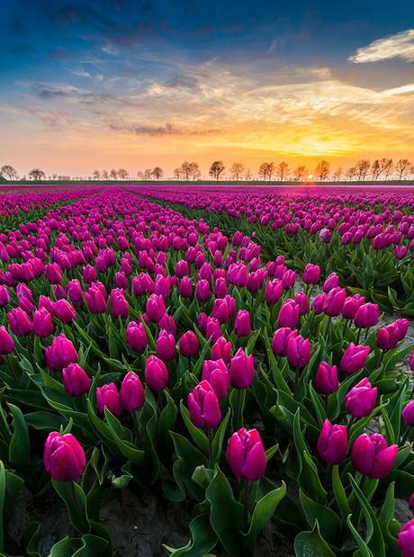 Field of Tulips...