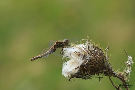 Heidelibel