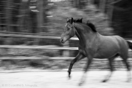 Project I, Beweging - Met in 1 hand de longeerzweep en in de andere hand de camera. Als ik geen lange zweep in m'n handen heb kan ik nl. alleen maar close-upjes maken van  - foto door brinkbeest op 26-02-2013 - deze foto bevat: paarden, zwartwit, beweging, project I