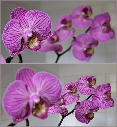Tweeluik Orchidee....