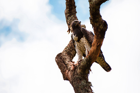 African Martial Eagle @ Arusha National Park