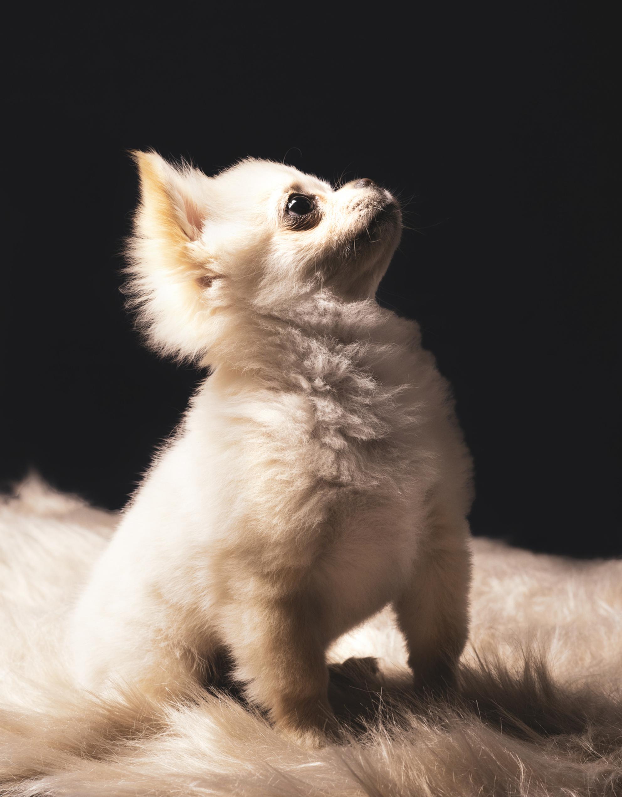 Frenkie - Deze kleine schat op de foto mogen zetten! - foto door SerenaZoom op 27-02-2021 - deze foto bevat: portret, honden, flits, ogen, nikon, studio, photoshop, fotoshoot, flitser, hondenfotografie