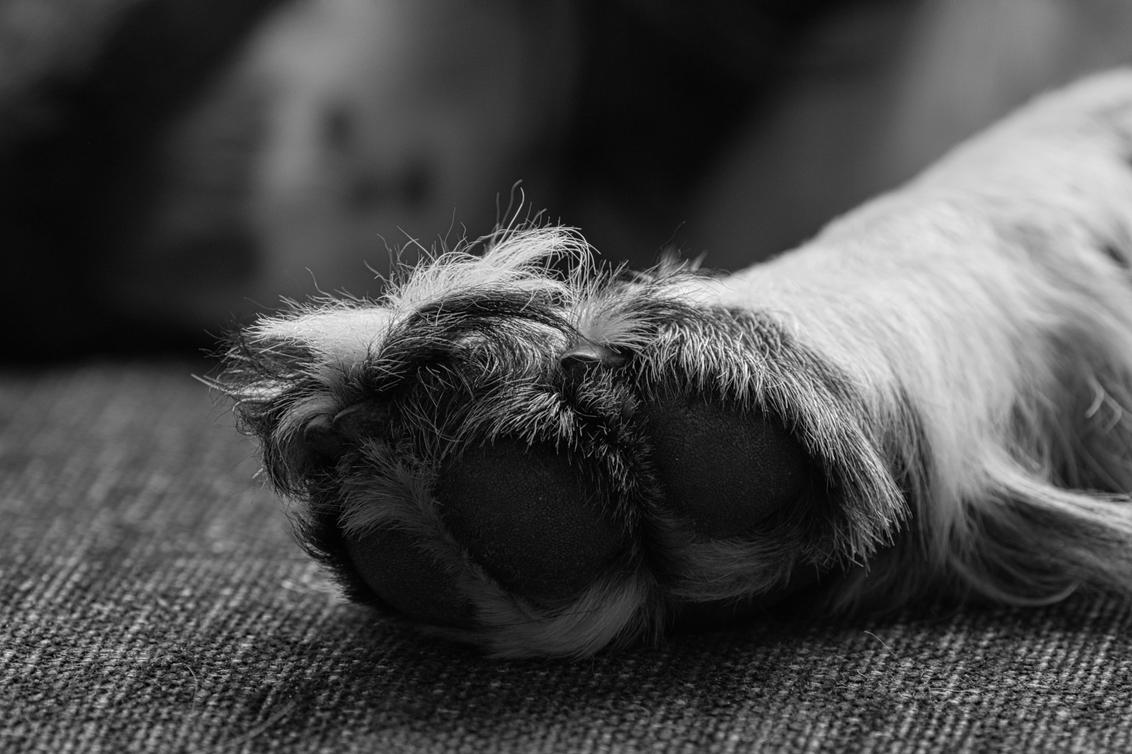Poot - Alle zoomers, zoomvrienden en -volgers, bedankt voor de waardering, tips en aandachtspunten op mijn vorige uploads. - foto door PaulvanVliet op 28-02-2021 - deze foto bevat: macro, natuur, dieren, huisdier, hond, bank, jong, zwart wit, springer spaniel
