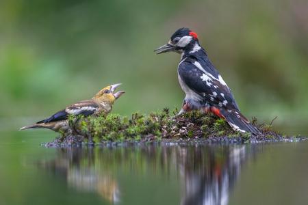Uitdagen - Deze jonge Appelvink daagt een Specht uit...  Bedankt voor de reacties op de vorige plaatsing - foto door HermanDeRaaf op 11-07-2020 - deze foto bevat: natuur, specht, dieren, vogel, appelvink