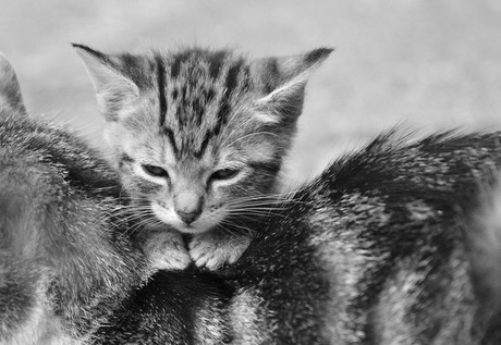 Kitten ligt op moeder