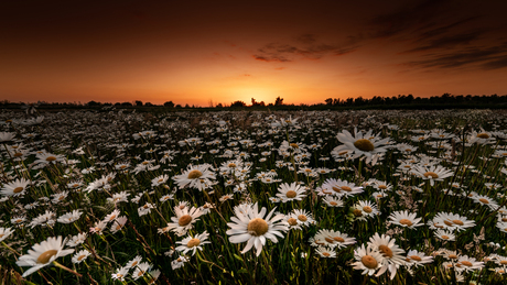 Sunset and daisy flowers.
