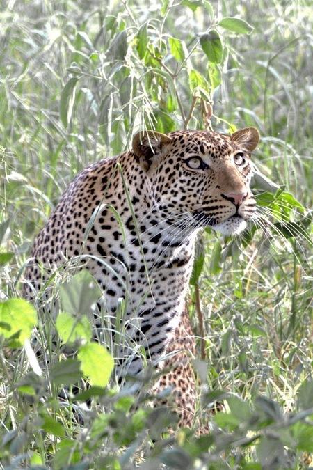 Dat is een hoge boom..... - - - foto door wd1956 op 02-07-2019 - deze foto bevat: luipaard, tanzania, tarangire np