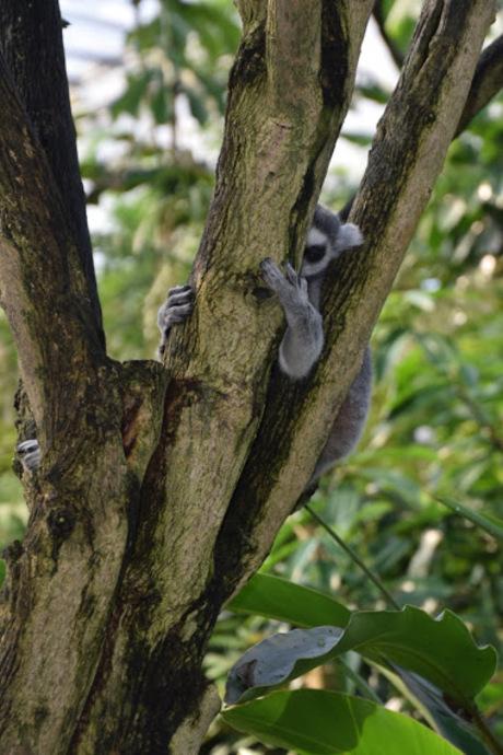 Ringstaart makaak