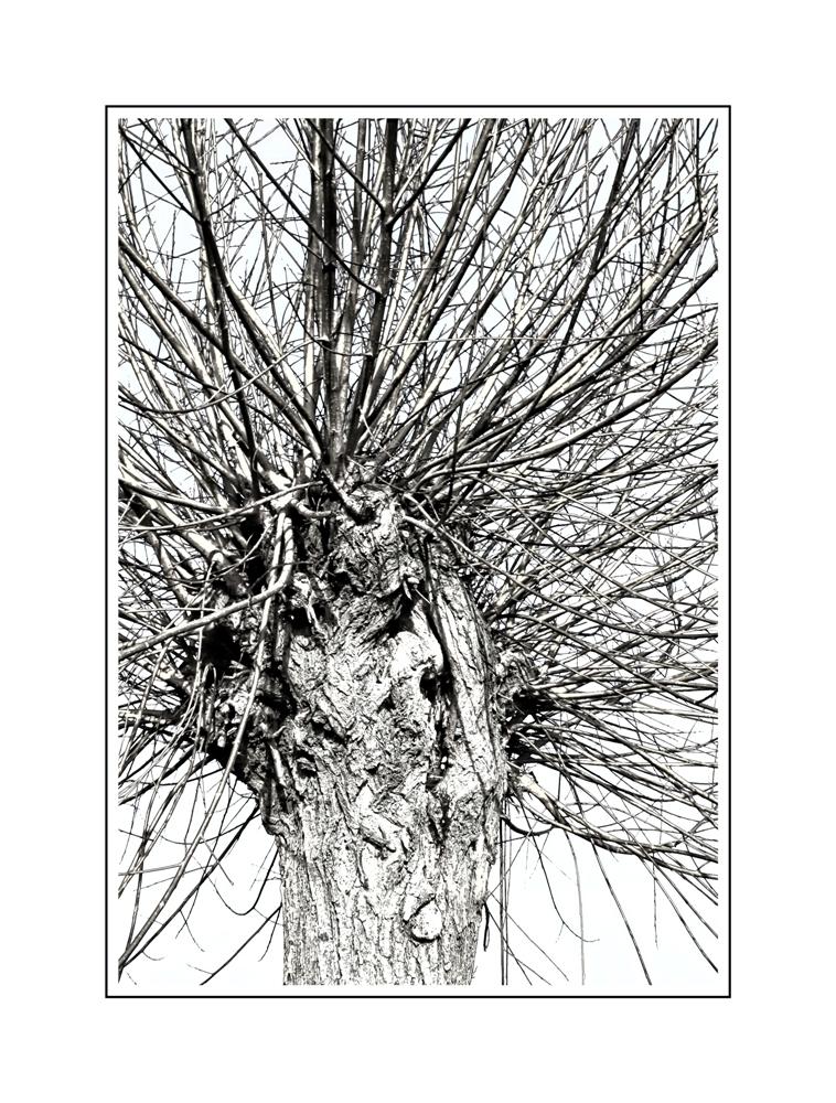 LEAFLESS - - - foto door onne1954 op 17-12-2014 - deze foto bevat: boom, polder, knotwilg, alblasserwaard