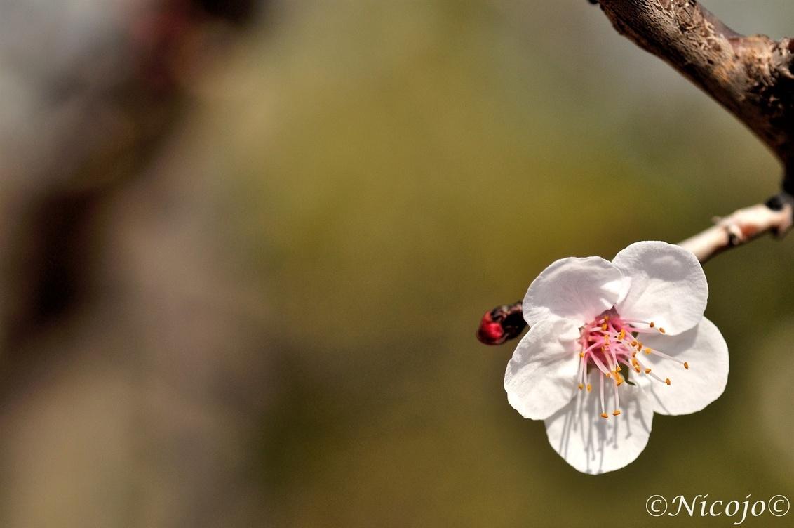 Bloesem abrikoos. - Steeds meer bomen komen in bloei maar ook het onkruid laat zich graag zien met soms de mooiste bloemen. Hoop dat deze foto niet al te druk over komt: - foto door ocelot_zoom op 28-02-2017 - deze foto bevat: bloem, natuur, voorjaar, spanje, abrikoos, nicojo