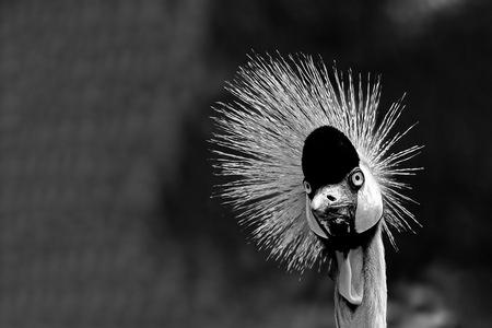 Brutaal -2- - zwart-wit foto van een konings kraanvogel - foto door fotohela op 13-04-2021 - locatie: Hoorn 59, 2404 HG Alphen aan den Rijn, Nederland - deze foto bevat: kraanvogel, koningskraanvogel, vogel, kuif, portret, zwart-wit, avifauna, alphen aan den rijn, haar, hoofd, oog, menselijk lichaam, flitsfotografie, fabriek, veer, vleugel, snuit, staart