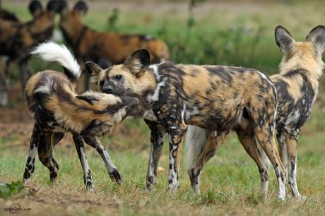 afrikaanse wilde hond III