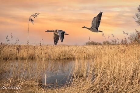 Vliegende ganzen in de Brabantse Biesbosch