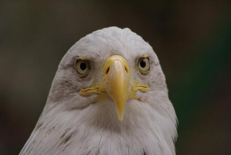Zeearend - Roofvogel - foto door emielbel op 09-05-2010 - deze foto bevat: zeearend, roofvogel