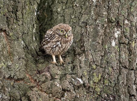 Steenuil - Door zijn camouflage niet erg opvallend in deze boom - foto door geld1846 op 25-08-2019
