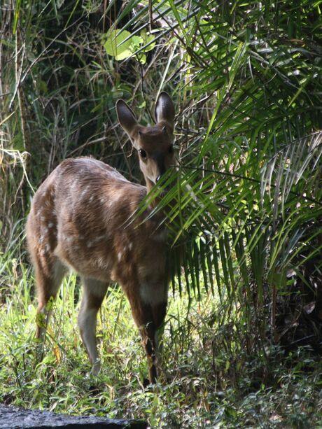 Bushbok