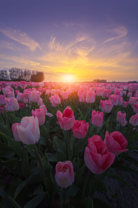 Flowerbomb - - - foto door m1rphotography op 10-07-2018 - deze foto bevat: wolken, zon, tulpen, lente, natuur, licht, avond, zonsondergang, landschap, tegenlicht, zonsopkomst, hdr