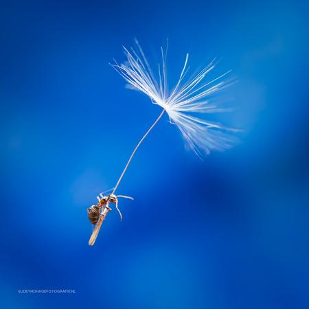 Exploring you're universe - Mier op een paardenbloemzaadje. geschoten met de nieuwe 30mm macro lens - foto door joeyhohage op 30-04-2015 - deze foto bevat: macro, wit, blauw, herfst, mier, zomer, insect, panasonic, bokeh, 30mm, MFT, joey hohage, g6, 30mm lumix