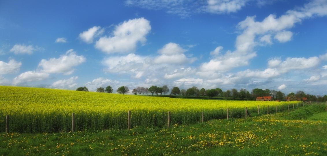Koolzaad - Koolzaadveld nabij Schimmert. gr.peter - foto door pjhtheunissen op 04-05-2021 - locatie: 6333 Schimmert, Nederland - deze foto bevat: koolzaad, veld, schimmert, limburg, wolken, wolkenlucht, wolk, bloem, lucht, fabriek, ecoregio, mensen in de natuur, natuurlijk landschap, boom, land veel, vegetatie