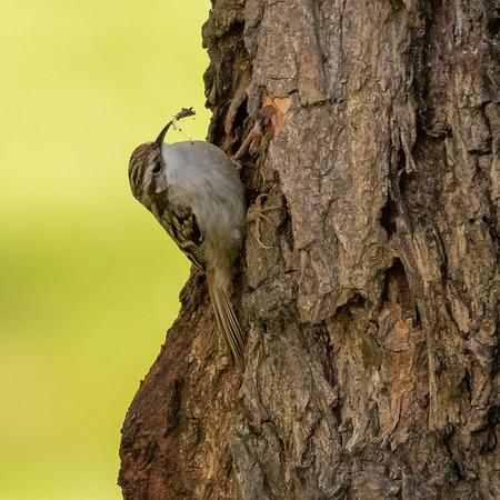 Boomkruiper - Boomkruiper - foto door EdvanderReek op 12-04-2021 - deze foto bevat: vogel natuur boom, vogel, oog, fabriek, bek, hout, kofferbak, takje, veer, boom, neerstekende vogel