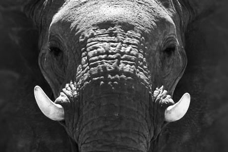 Close-up van een olifant in Etosha NP, Namibië