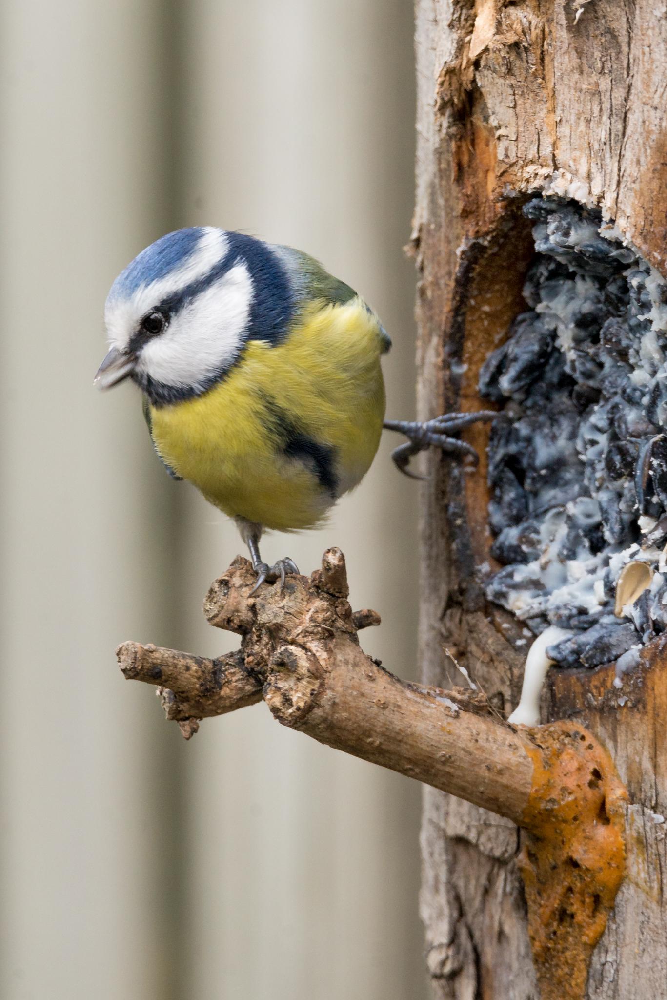 Pimpelmezen. - Diversen foto's van deze leuke tuinvogeltjes. - foto door Kompieter op 17-04-2021 - deze foto bevat: vogel, fabriek, bek, afdeling, organisme, takje, boom, hout, kofferbak, chickadee