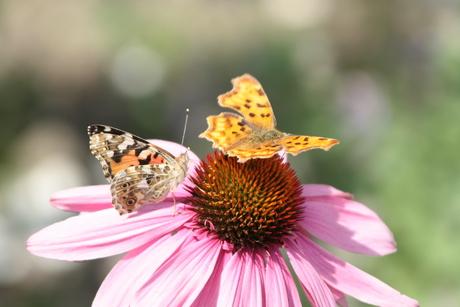 Distelvlinder en Gehakkelde Aurelia op Echinacea