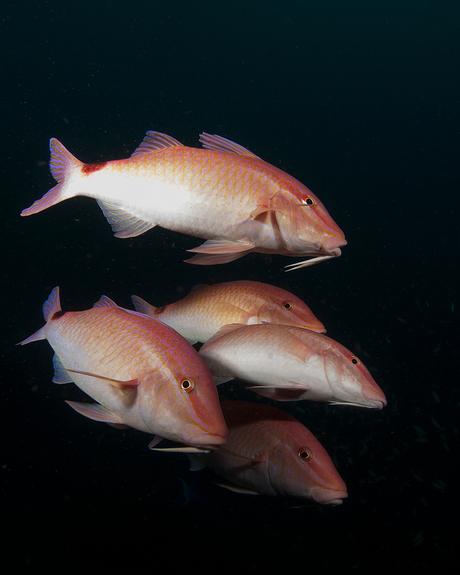 Zeebarbelen