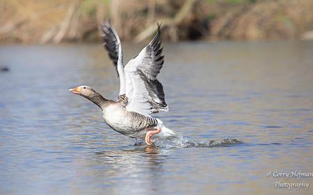 take off  - deze foto is genomen in een natuurgebied .  - foto door hofman-c op 12-04-2021 - deze foto bevat: gans, watervogel, water, dier, natuur, wildlife, water, vogel, bek, meer, watervogels, veer, eenden, ganzen en zwanen, rennen, vleugel, staart