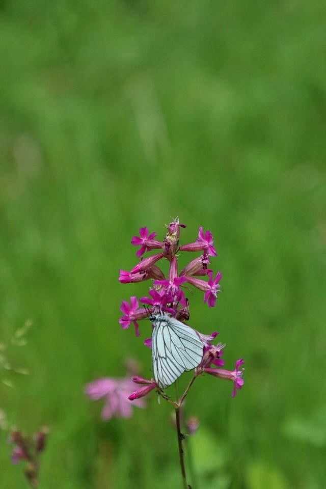 Natuur. - Deze foto gemaakt in her Nationalpark Bayerischer Wald zonder macrolens.  4 juni 2018. Groetjes Bob. - foto door oudmaijer op 20-04-2020 - deze foto bevat: macro, lente, natuur, vlinder, vakantie, bos, duitsland, nationalpark, bayerischer wald