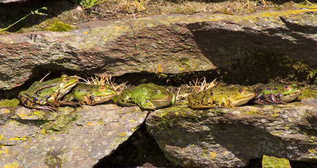 Poelkikkers in de zon