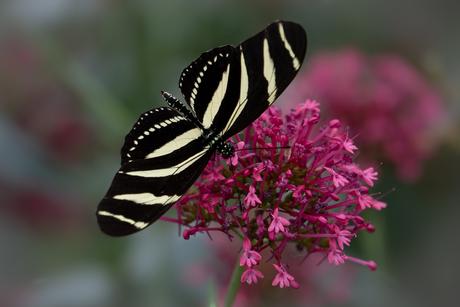 Zebravlinder op bloem