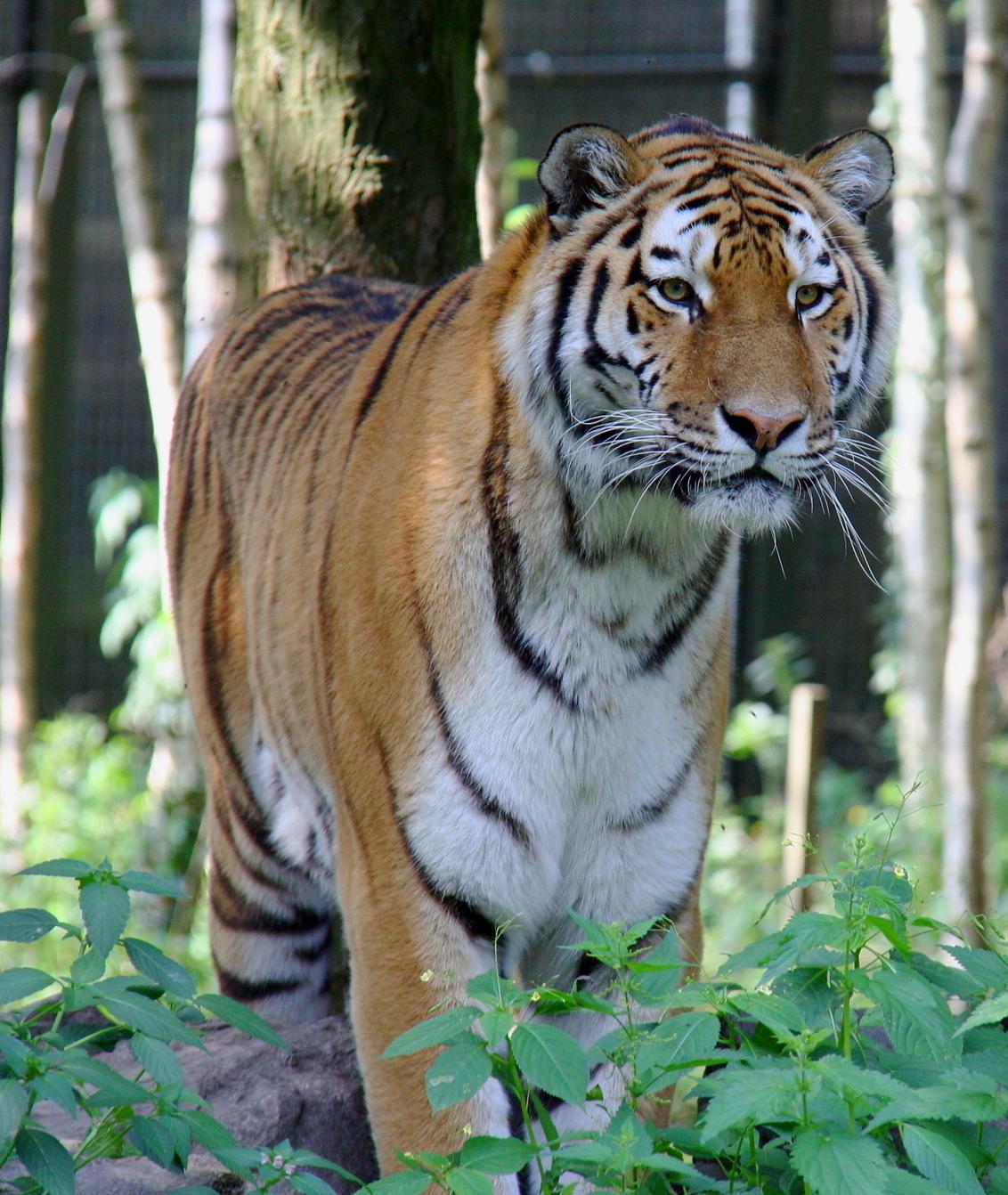 Tijger - Tijger ( Ouwehands dierenpark ) - foto door sabatini op 03-10-2010 - deze foto bevat: tijger