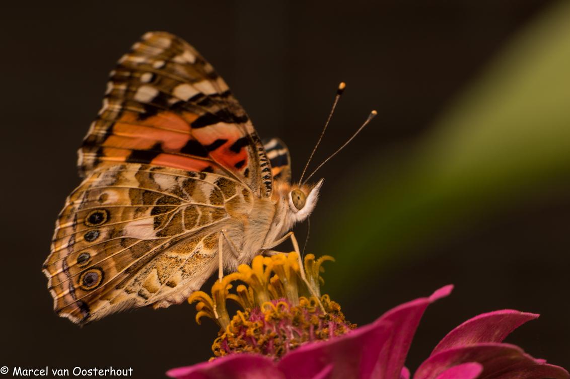 Distelvlinder - Nikon D3200 met Nikkor micro 85mm 3.5VR, Meike tussenring 36mm en flits - foto door mvo70 op 02-08-2014 - deze foto bevat: groen, paars, rood, macro, zon, bloem, natuur, vlinder, bruin, geel, licht, oranje, tuin, zwart, zomer, distelvlinder, insect