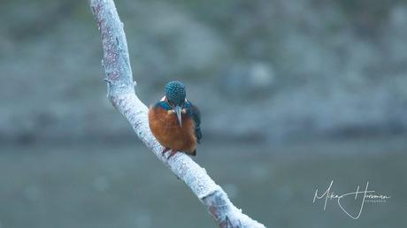 Ijsvogel op een bevroren tak