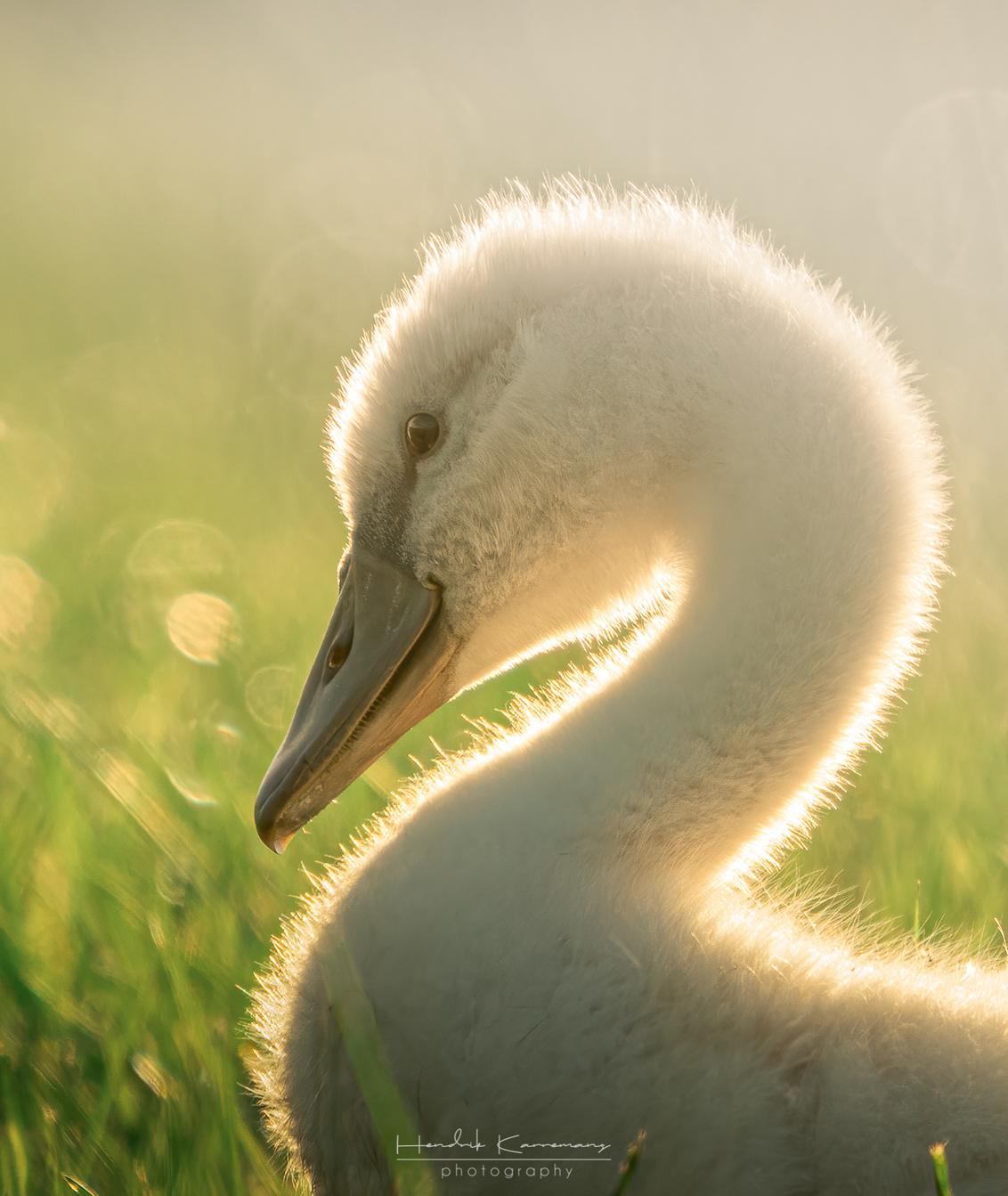 Close Up - - - foto door Hendrik1986 op 19-07-2020 - deze foto bevat: water, vogel, zwaan, watervogel, wildlife