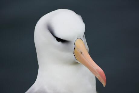 Close-up Wenkbrauwalbatros