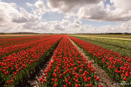 Tulpenveld in Drenthe