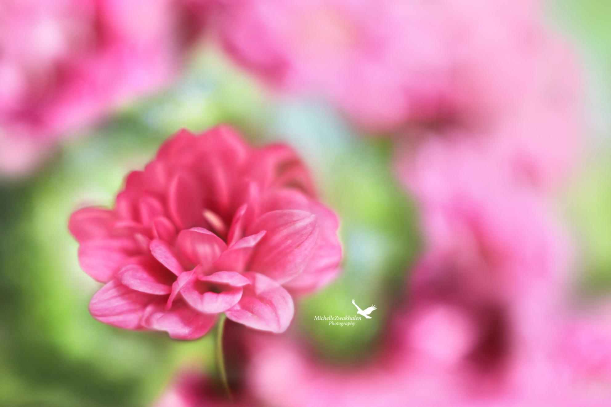Softness - - - foto door MichelleZwakhalen op 30-10-2017 - deze foto bevat: roze, groen, macro, bloem, natuur, licht, tuin, bokeh, helios