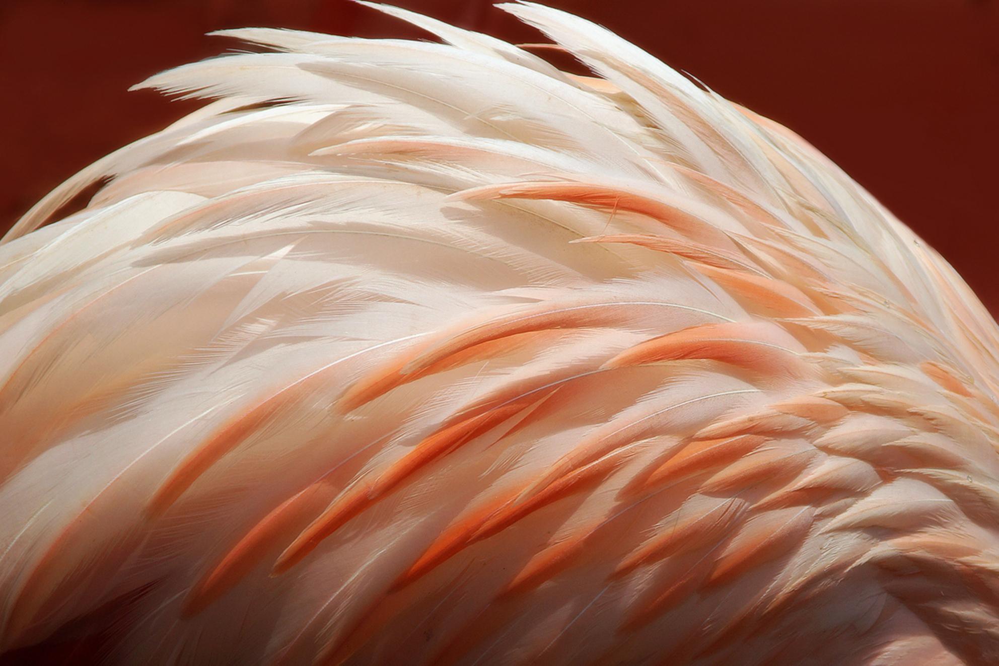 De Flamingo buigt - Nog eentje van Jungle Park Aguilas op Tenerife.   Eens geen hele flamingo geschoten, maar alleen de kromming van de rug bij het drinken. Het goede  - foto door mdl50 op 19-07-2012 - deze foto bevat: roze, flamingo, veren, rose, cirkel, verenkleed