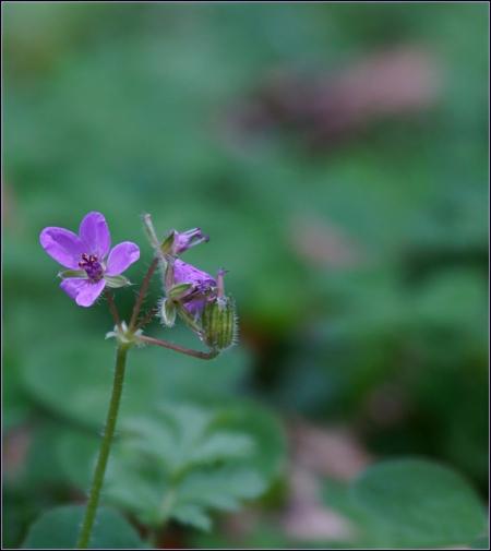 Helemaal alleen . . - HEMBRUGTERREIN -  . . .  vandaag een uurtje extra..ik dacht mag vandaag wel een extra bloemetje plaatsen. Gister weer even op zoek geweest naar padd - foto door 1103 op 26-10-2014 - deze foto bevat: paars, macro, bloem, natuur
