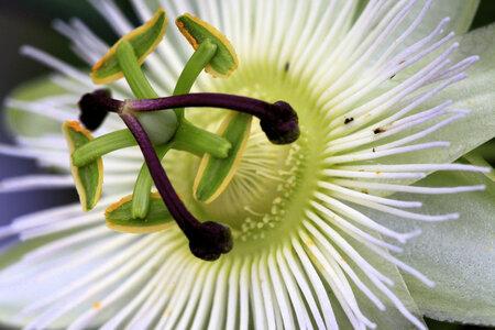 Passibloem - Prachtige bouwwerkjes! - foto door RobZuydervelt op 19-12-2020 - deze foto bevat: groen, macro, wit, bloem, natuur, geel, vlindertuin