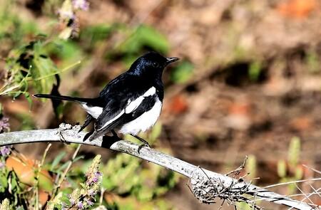 Mijn Reizen - dit is  een Dayal Lijster een kleine zang vogel die in India zeer geliefd is  door zijn mooie  zang   en natuurlijk zie je ze veel in kooitjes dat na - foto door Stumpf op 17-04-2021 - locatie: India - deze foto bevat: vogel, zwartsnavelige ekster, bek, fabriek, takje, organisme, ekster, veer, aanpassing, natuurlijk landschap