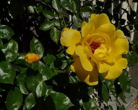 Roos voor Gonne Marieke.